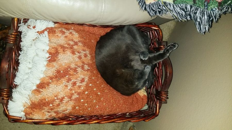 Catortionist, cat, grey short haired cat twisting cat, cat in basket, cat on blanket