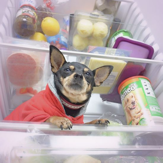 Hund im Kühlschrank Dog Food Fridge Close-up Container Dog Dog In A Box Glass - Material Indoors  No People One Animal Pets Pinscher Portrait Reflection Small Modern Hospitality The Creative - 2018 EyeEm Awards