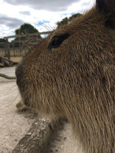 Capybara Capybaras Capybara Animal Animal Themes Mammal One Animal Focus On Foreground Day No People Animal Body Part Close-up Animal Wildlife Animals In The Wild