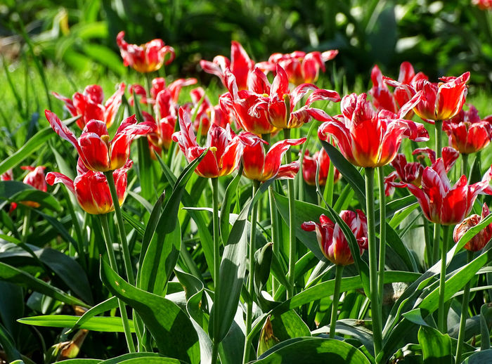 Beauty In Nature Flower Collection Tulips Tulip Springtime Spring Spring Flowers Flower Head Flower Red Petal Close-up Plant Blooming Plant Life Softness