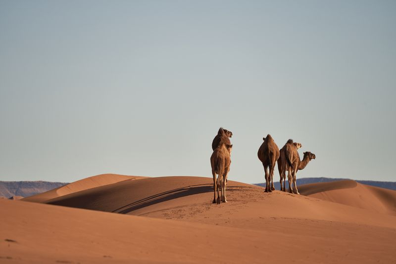 View of camels in desert against clear sky