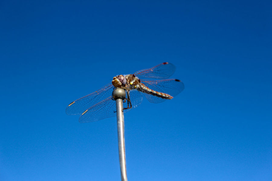 Dragonfly flying in the Nevada desert Blue Sky Clear Sky Nature Day No People Outdoors Dragonfly Dragonflies Dragonfly Nature Insects