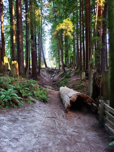 Redwood Forest Redwood Trails Redwoods Redwood Forest Trails Tree Forest Tree Trunk Landscape Tree Area Growing