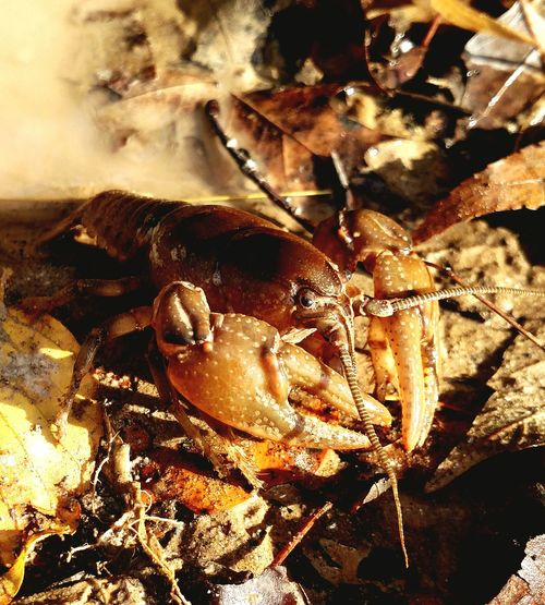 Crayfish Crawdad Closeup Nature EyeEm Nature Lover Mobilephotography West Virginia Exploringpaidoff EyeEm Best Shots