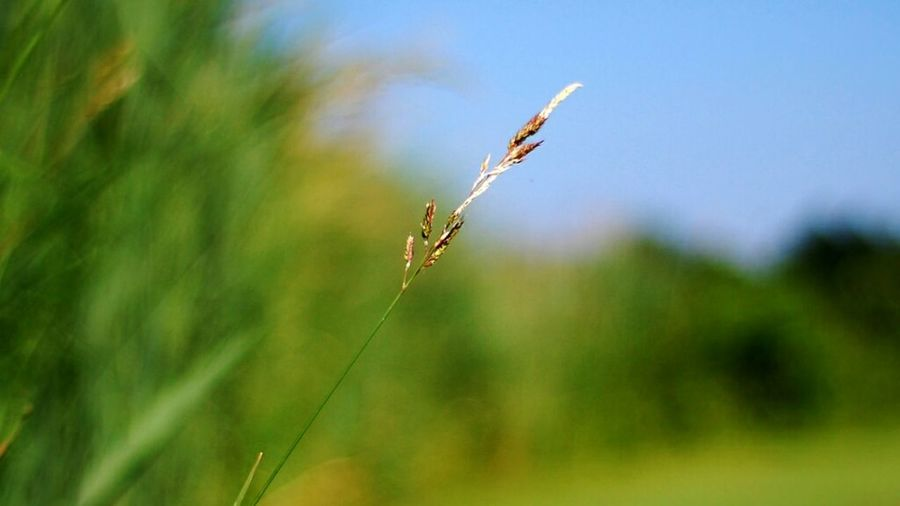 Grass Bokeh Peaceful Sky Nature Outdoors Canada Quebec Suroit Marsh Grain Close Up Sunshine