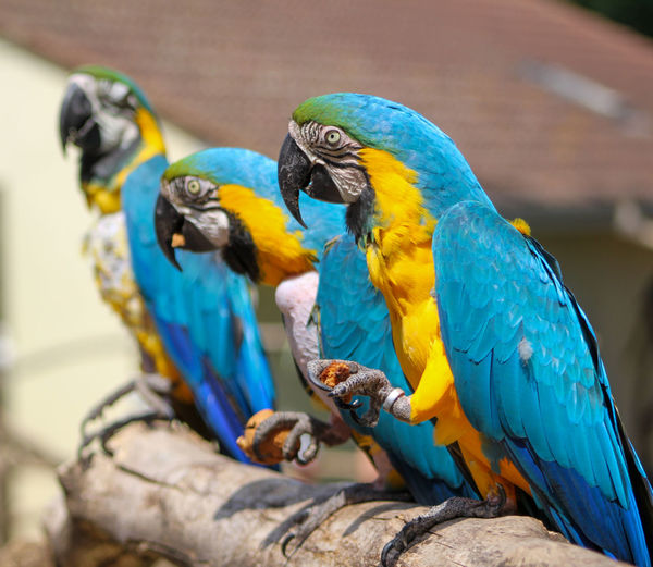 Close-up of blue parrot perching