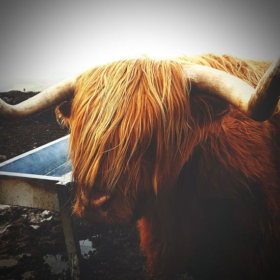 Highland Cow Highland Coo Highlands Nature Photography Nature's Diversities Nature On Your Doorstep