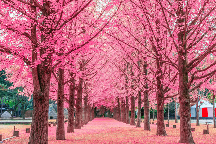 Pink tree,Nami Island in Korea Beauty In Nature Blossom Cherry Blossom Cherry Tree Diminishing Perspective Direction Flower Flowering Plant Footpath Growth In A Row Nature No People Outdoors Park Park - Man Made Space Pink Color Plant Springtime The Way Forward Tree Tree Canopy  Tree Trunk Treelined Trunk