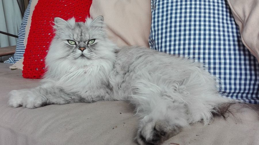 One Animal Pets Domestic Animals Domestic Cat Outdoors Beauty Nature Greeneyes Long Fur Persian Cat  Cat Poise  Elegant Feline Chinchilla RussianBlue Russian Blue Mixed Titan Pet Portraits