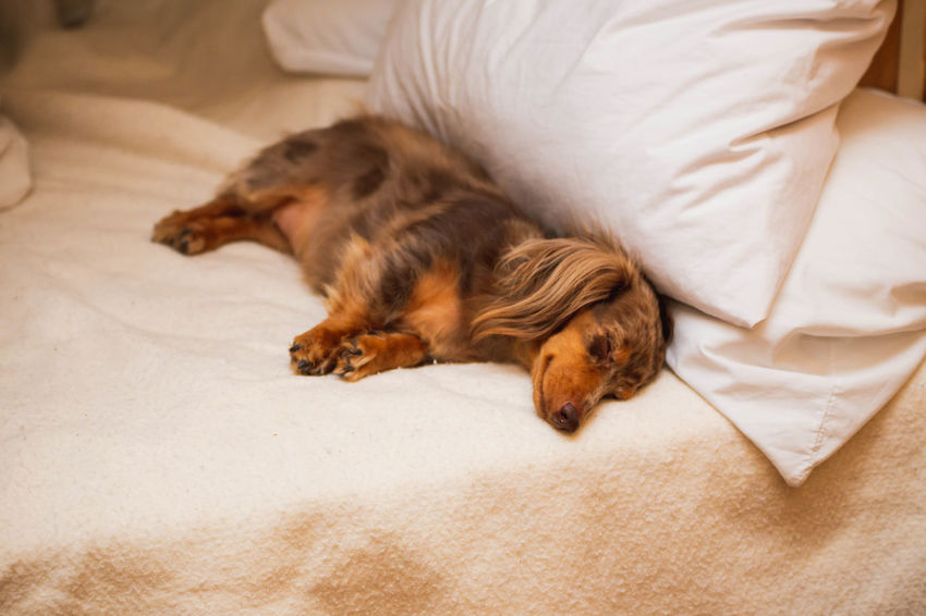 Cute dachshund dog sleeping on a bed with what looks like a smirk on its face. Animal Animal Themes Bed Canine Dachshund Dachshundlove Dachshundlovers Dachshunds Dachshundsofeyeem Dog Domestic Domestic Animals Furniture Indoors  Lying Down Mammal Napping No People One Animal Pets Pillow Relaxation Resting Sleeping Vertebrate