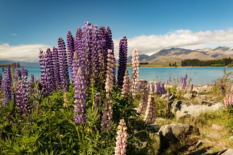 Beautiful Wanaka Lupin Wanaka New Zealand Scenery Sky Plant Beauty In Nature Growth Mountain Nature Flower Flowering Plant Scenics - Nature Tranquility Water Cloud - Sky Tranquil Scene Day No People Land Outdoors Freshness Purple Lavender
