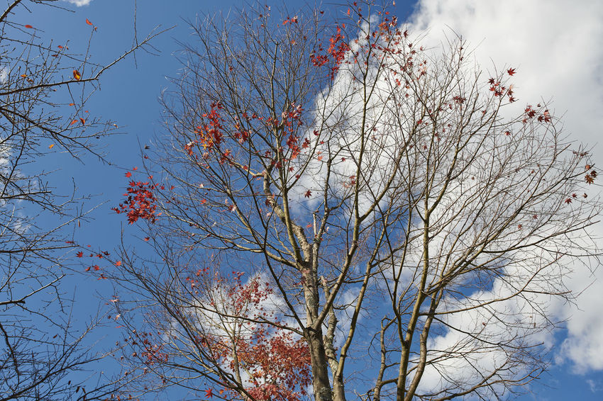 Cloud Fall Colors Nature Fall Season Maple Outdoors Red Leaf Sky Twig