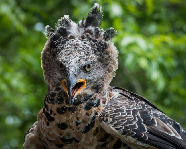 Close-Up Portrait Of Crowned Eagle Perching Outdoors