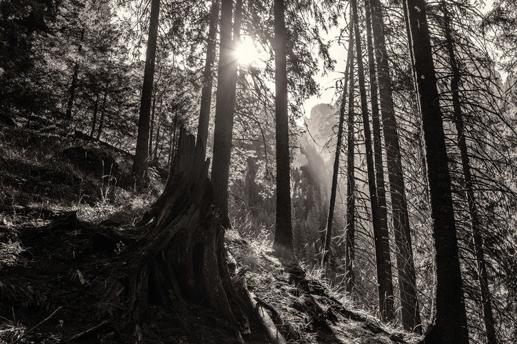 Solace in Sun Gazing - Study I Bare Tree Black & White Black & White Photography Black And White Bucegi Mountains Bucegi Mountains, Bucegi Natural Park Day Forest In The Forest Monochrome, Mountains, Muntii Bucegi No People Outdoors Solace Solace In Sun Gazing Sun In The Forest Tree Trunk WoodLand Woods