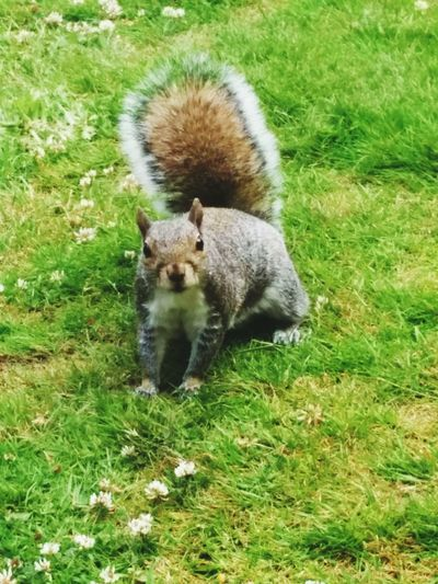 Squirrel Nature No People Beauty In Nature Mammal Green Color Grassy One Animal All My Own Work Outdoors Heaton Park Manchester