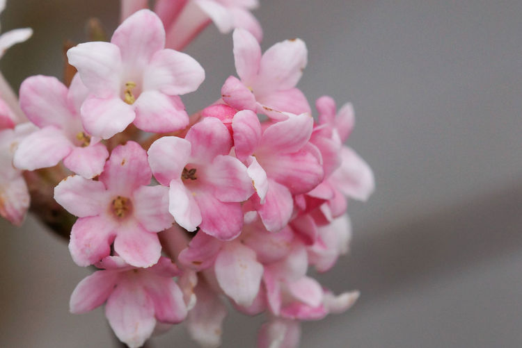 Viburnum, viburnum farreri, flowers of the gardens Beauty In Nature Bloom Blooming Blossom Blossoming  Botanic Close-up Day Flora Flower Flower Head Fragility Freshness Garden Gardening Nature No People Outdoors Pink Color Shrub Spring Spring Flowers Springtime Viburnum Viburnum Farreri