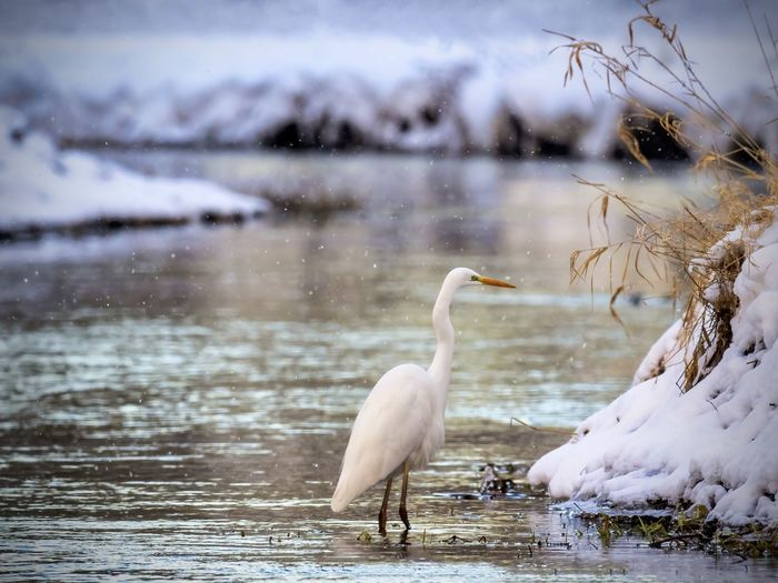 View of egret in a river during winter