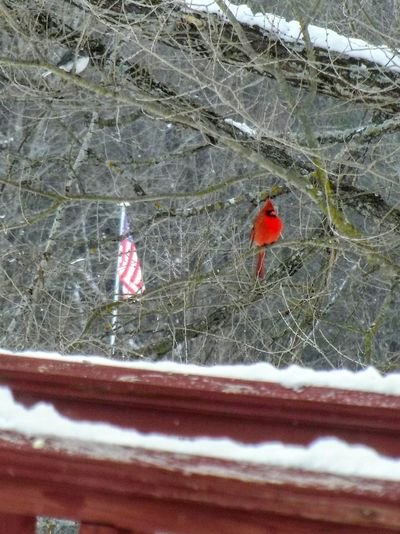 A bit of red, white and blue to start the day lol. Day Winter Patriotism Outdoors Red Cold Temperature No People Snow Animal Themes Beauty In Nature Nature
