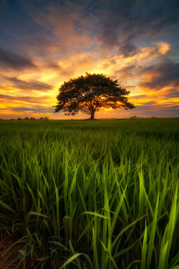 tree in field sunset backgroundform Thailand Plant Field Land Landscape Sky Sunset Agriculture Crop  Rural Scene Environment Cloud - Sky Beauty In Nature Growth Tranquility Tranquil Scene Nature Scenics - Nature Cereal Plant Tree Grass No People Outdoors