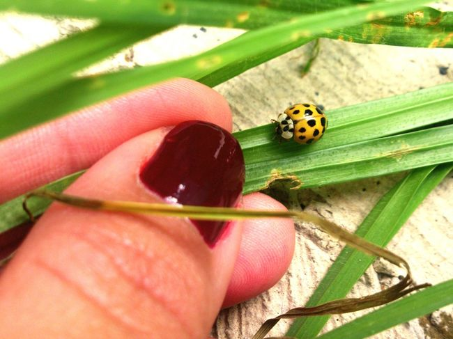 Catarina Bugs Bugs Life Mariquita♥ Insect Animal Wildlife Tiny Nature Outdoors Human Body Part Close-up Ladybug Animal Themes Grass Sonyxperia Crr229