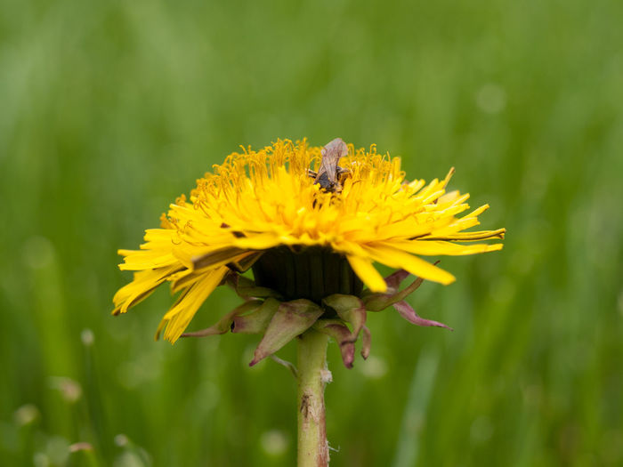 Pollination Animal Themes Animals In The Wild Beauty In Nature Close-up Dandelion Day Flower Honey Bee Nature One Animal Pollination Single Flower Springtime Yellow