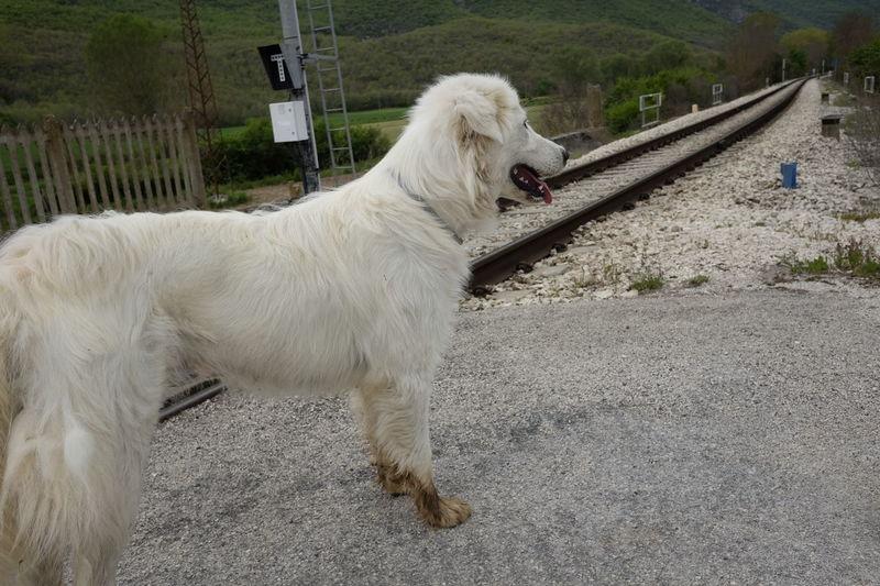 Abruzzese Animal Themes Day Dog Domestic Animals Mammal Maremmano Nature No People One Animal Outdoors Pastor Pets Railroad Track
