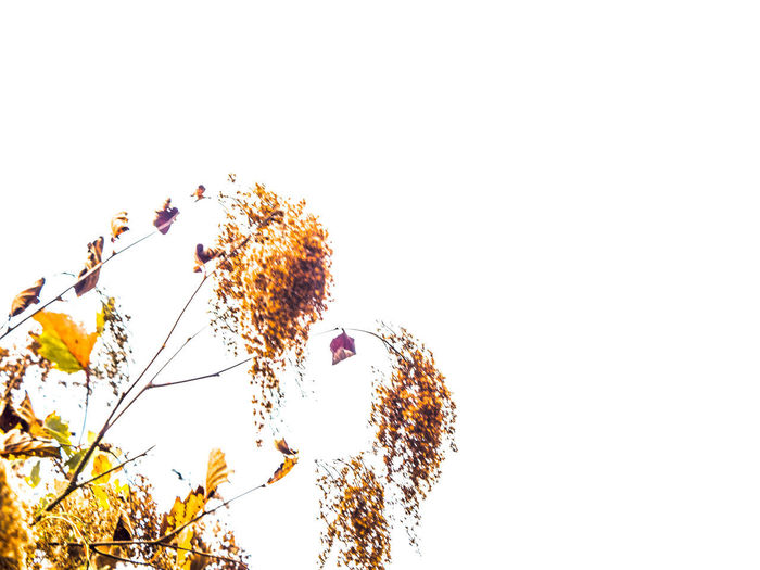 shrub Beauty In Nature Clear Sky Close-up Copy Space Day Flower Flowering Plant Fragility Freshness Growth Low Angle View Nature No People Outdoors Plant Sky Tranquility Tree Vulnerability  White Background