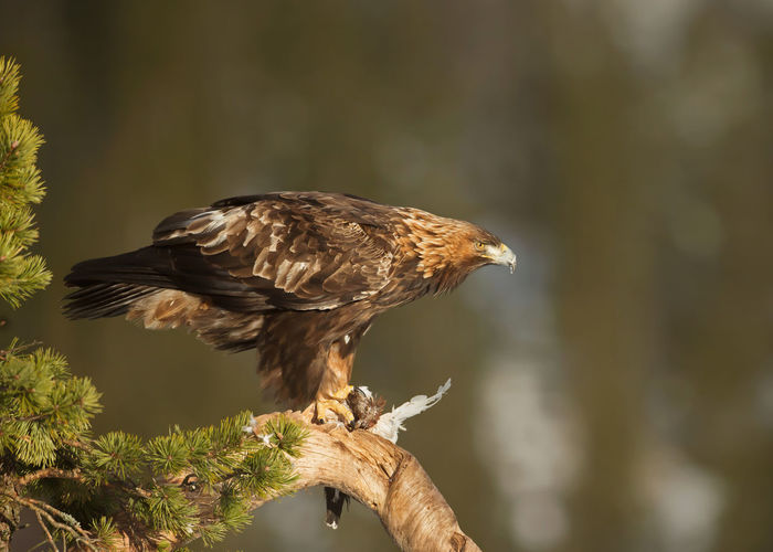 Eagle perching on branch