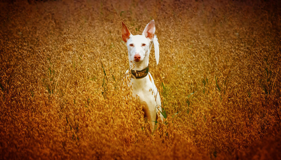 Ibizan Hound Canine Day Dog Domestic Domestic Animals Grass Looking Looking At Camera Mammal Motion Nature No People One Animal Pets Podenco Ibicenco Portrait Purebred Dog Running Small Vertebrate