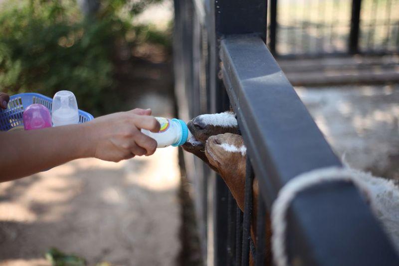 Cropped hand feeding goats