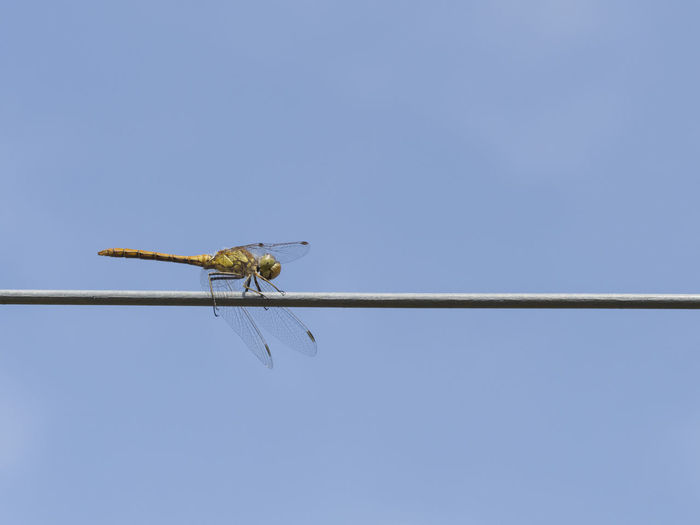 Low angle view of insect on perching against clear blue sky