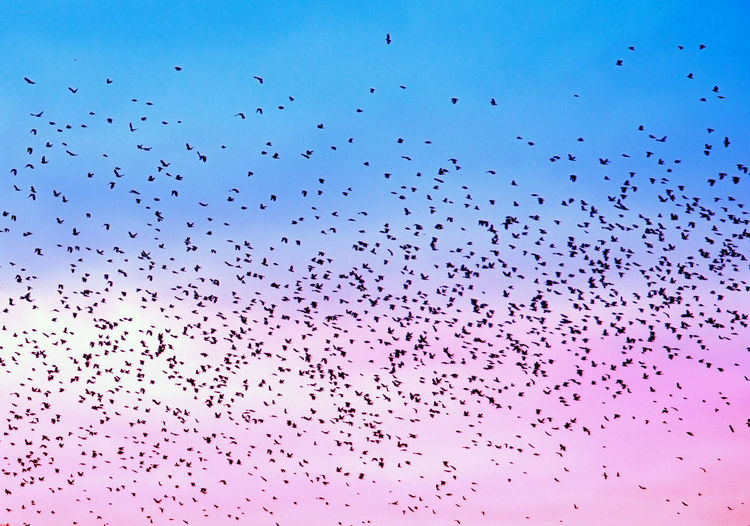 Flock Of Birds Flying Against Dramatic Sky