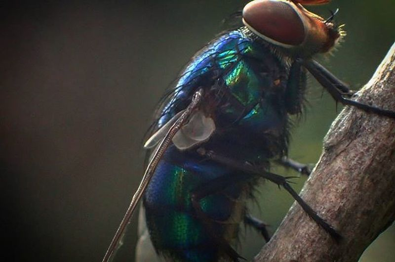 Macrophotography Macro_collection Insect Photography Garden Photography Metalicblue Lovely Colors Flie