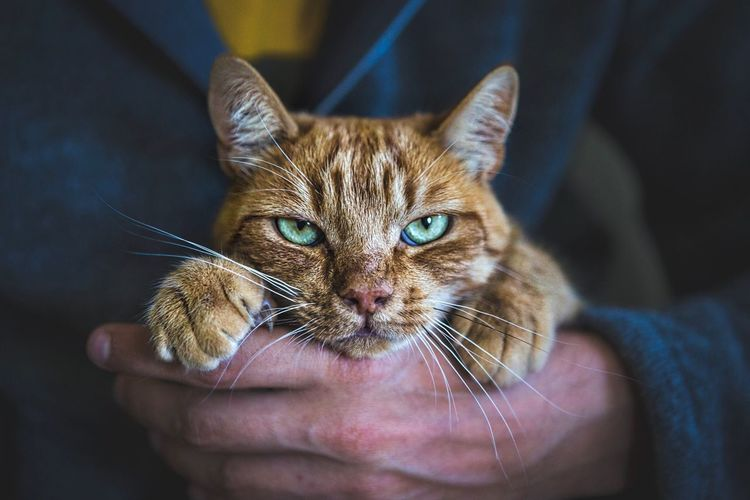 Close-up of person holding cat