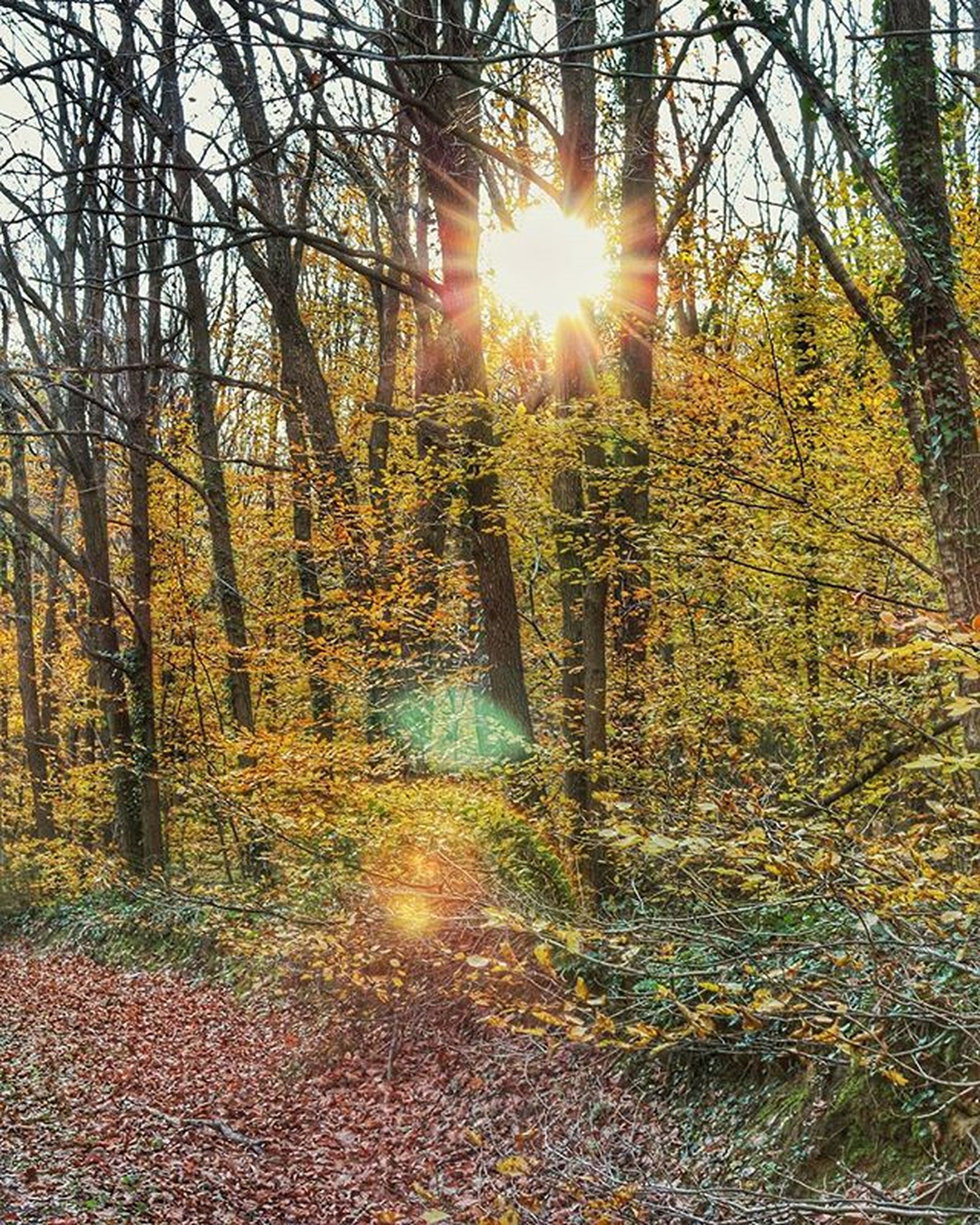 tree, sun, sunbeam, sunlight, tranquility, lens flare, tranquil scene, forest, nature, scenics, beauty in nature, sunset, branch, growth, tree trunk, back lit, bare tree, woodland, landscape, non-urban scene