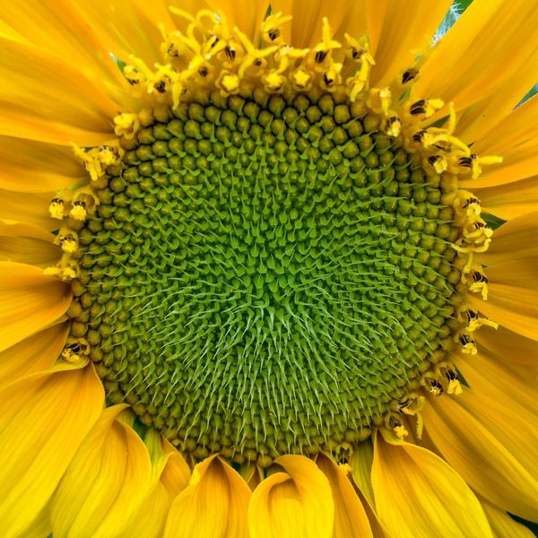 Sunflower Giant Sunflower Yellow Flower Petal Ray Flower Green Color Disc Flower Florets Spiral Pattern Floret Pattern Composite Flower Pollen Helianthus Annuus Helianthus Fragility Beauty In Nature Sunflower Head Nature Close-up No People Full Frame Outdoors Day November 2017 —