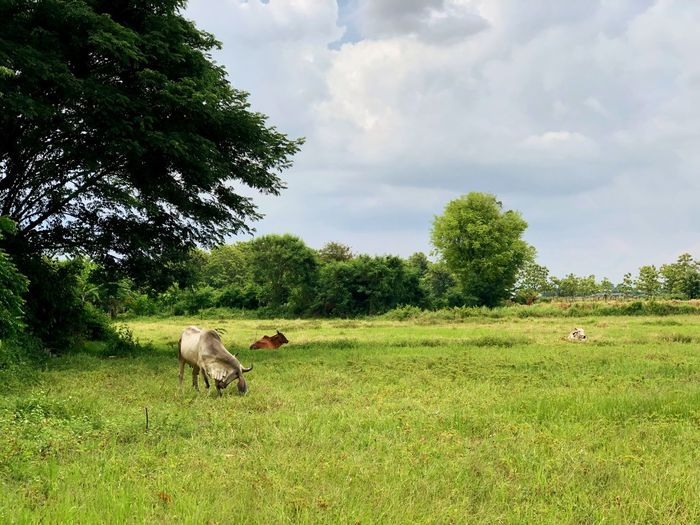 Thai countryside scenery Ox  Cow Rice Filed Views Meadows Plant Tree Animal Themes Mammal Animal Vertebrate Green Color Pets Beauty In Nature Domestic Land Growth Domestic Animals Grass Field Nature Sky One Animal Cloud - Sky