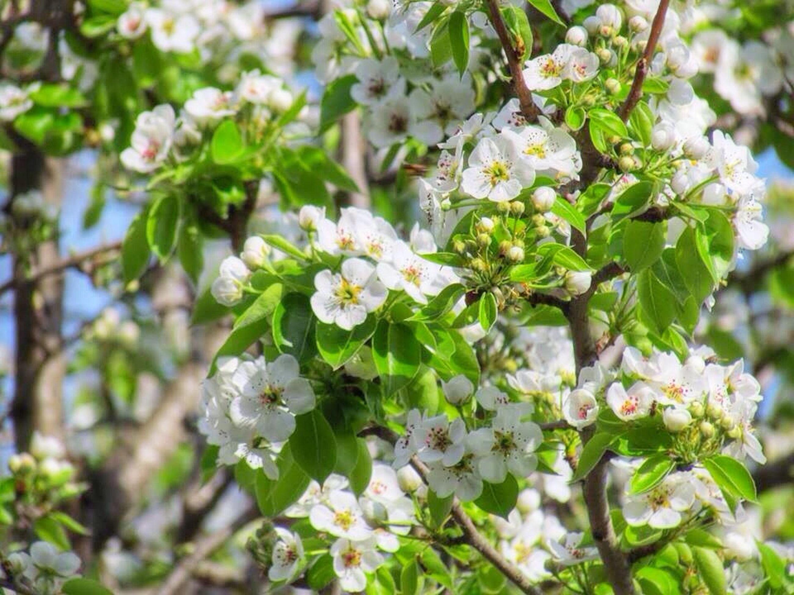 flower, freshness, white color, growth, fragility, petal, beauty in nature, nature, tree, blooming, focus on foreground, branch, flower head, blossom, in bloom, cherry blossom, close-up, springtime, park - man made space, white