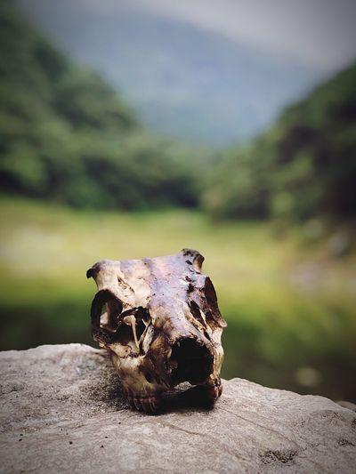 Animal skull on rock