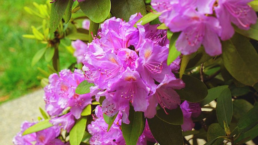 Flower Fragility Beauty In Nature Growth Blossom Nature Pink Pink Color Pink Flower Petal Freshness No People Springtime Spring Spring Flowers Spring Into Spring Close-up Rhododendron Stamen Day Outdoors Flower Head Plant Plants Plants And Flowers