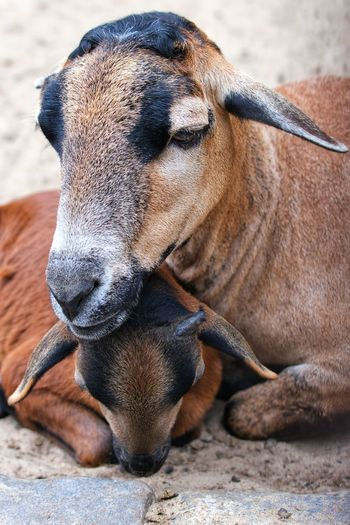 Ziegenmamma paßt auf ihr Junges auf Goats Ziegen Sand Brown Close-up Infant The Portraitist - 2019 EyeEm Awards My Best Photo