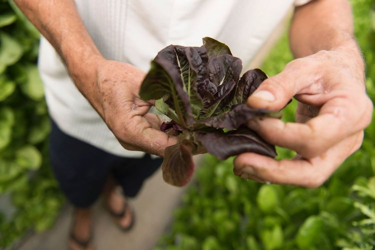 A hydroponic farmer shows off his lettuce harvest. Las Vegas Dinner Lunch Breakfast Farmer Harvest Lettuce Hand One Person Human Hand Plant Holding Focus On Foreground Close-up Growth Real People Food Land Food And Drink Vegetable Leaf Freshness