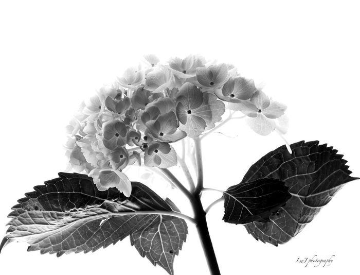 Blackandwhite, High Contrast, Still Life, Floral, Flower Flower Head Freshness Nature Petal Studio Shot White Background