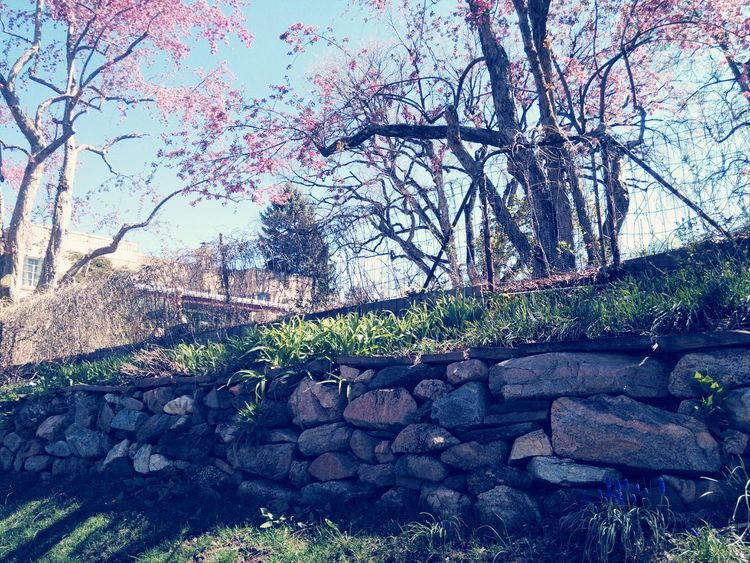 gate to nowhere. Pink Flower Blossom Pink Tree Blossom Blue Sky Spring 2016 Nature Photography Beautiful Nature Walking Around Branches Taking Photos Beautiful Colors Large Rocks