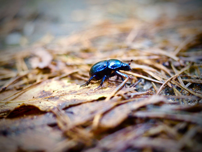 from chaos to cosmos Bug Nature Tiny Waldmistkäfer Walk Beetle Close-up Day Dung Beetle Fallen Leaves Forest In The Forest Käfer Nature No People One Animal