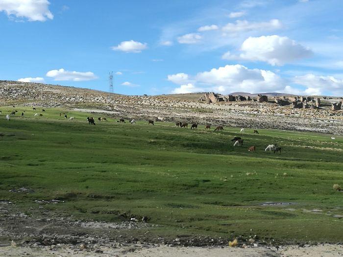 Llamas Silvestres! First Eyeem Photo