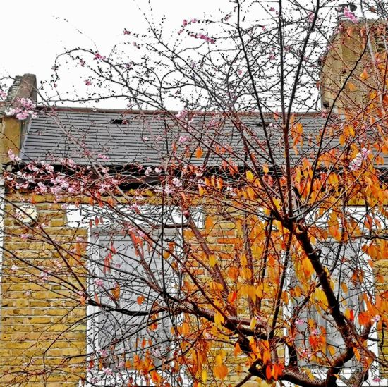 confused cherry tree in autumn Yellow Leaves Cherry Blossom Confused Seasons Autumn