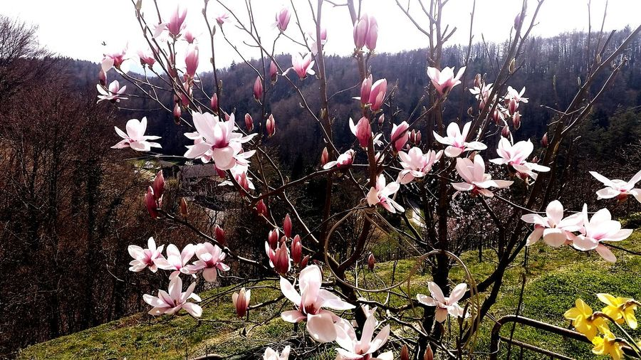 Spring Flowers Nature Magnolia Pink Sunny Day