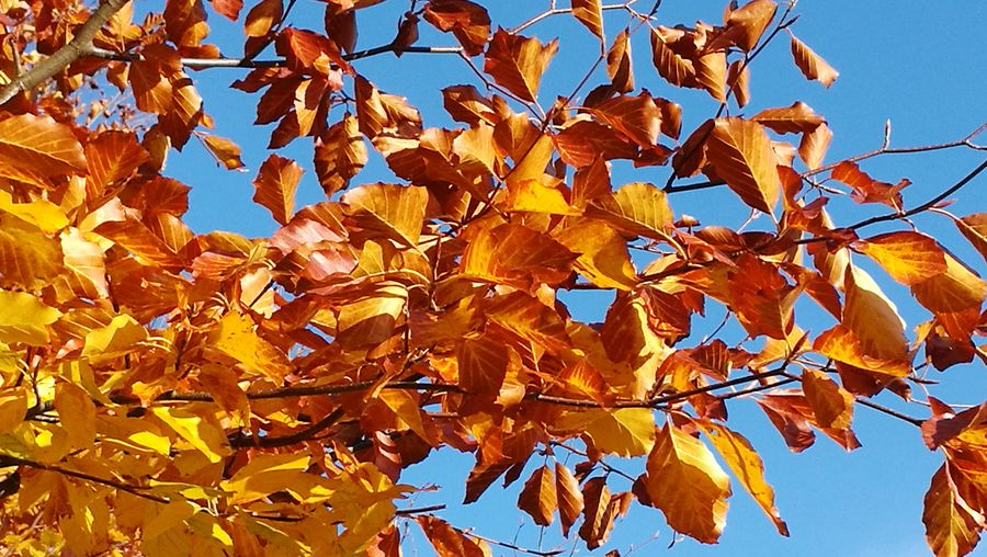 """""""Blattgold"""", """"gold leaf"""" Beauty In Nature Rennsteig Blattgold Gold Leaves Tree Autumn Leaf Branch Sunlight Yellow Blue Sky Close-up Leaves"""