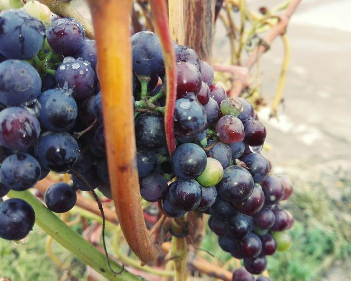 Fruit Grape Bunch Healthy Eating No People Growth Vineyard Nature Close-up Food Vine - Plant No Person WOLFZUACHiV Photography On Market Huawei Photography Wolfzuachiv WOLFZUACHiV Photos Veronica Ionita Ionita Veronica Eyeem Market Huaweiphotography Slowfood Grapes Slow Food Freshness